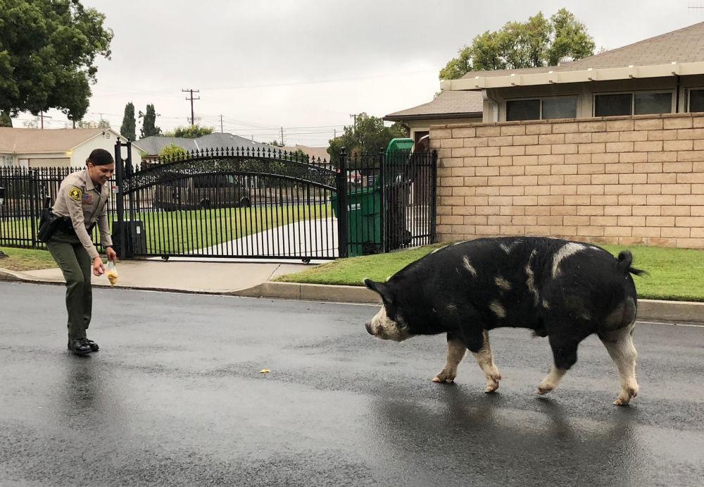 Policjant próbuje zagonić świnię do domu właściciela, USA