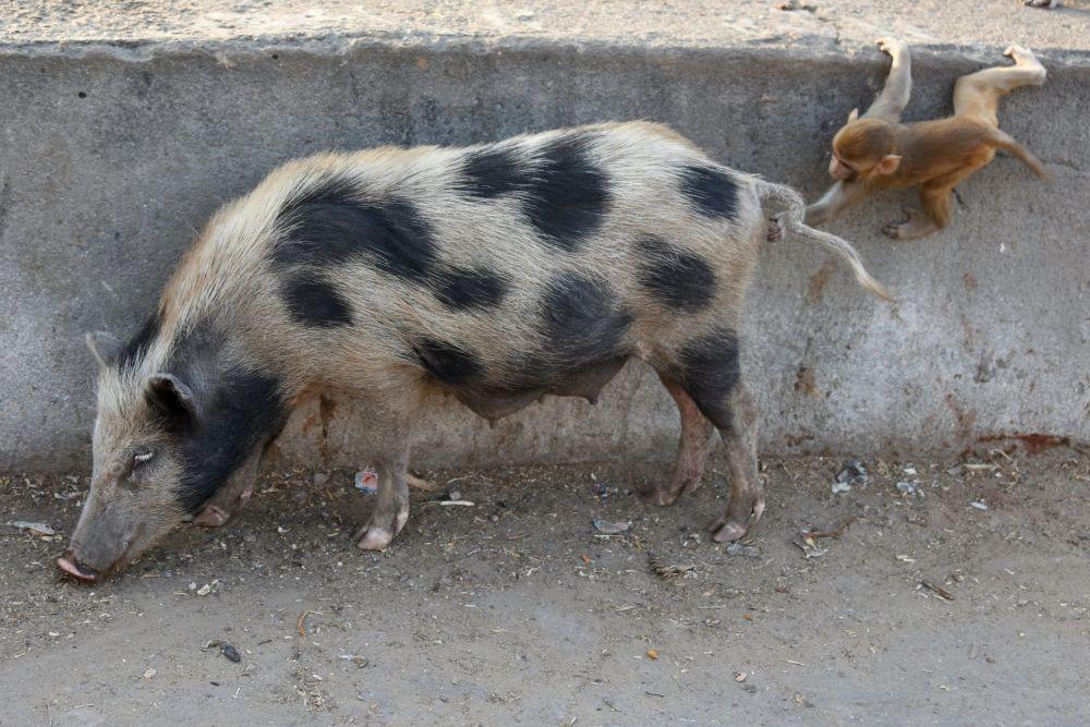 Czyżby ta małpka próbowała zaprzyjaźnić się ze świnią?