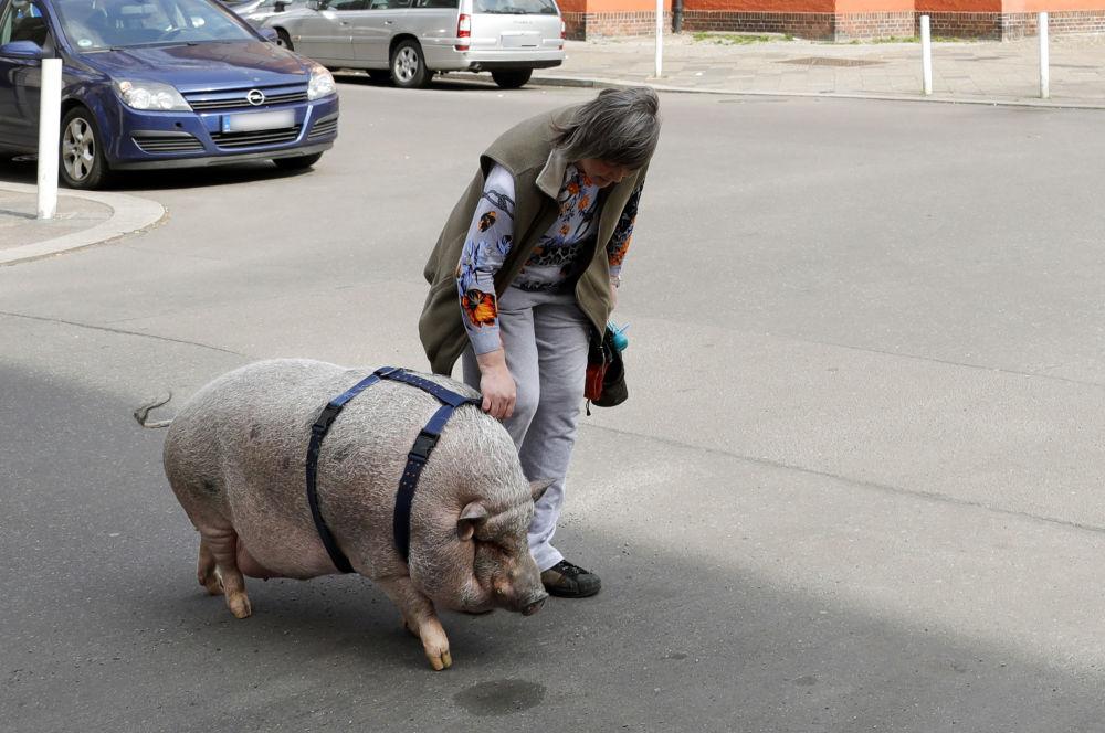 Na spacerze ze świnią domową, Niemcy