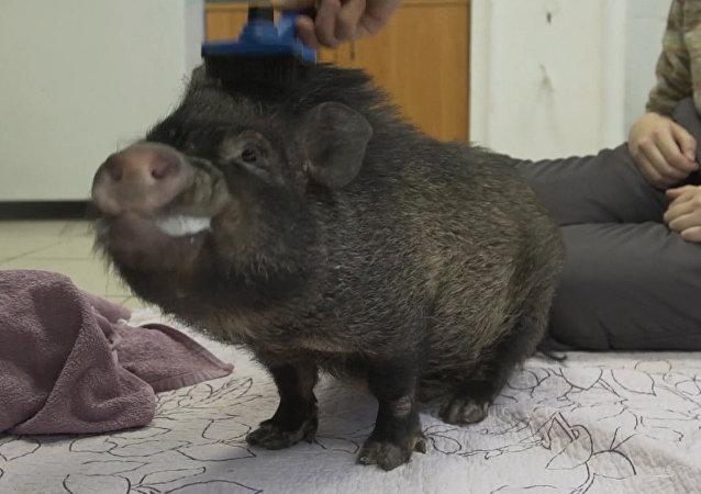 Świnka Bazuka