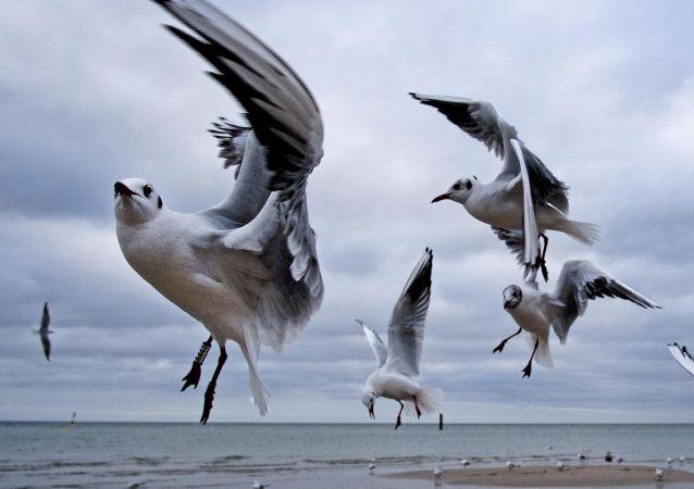 Mewy nad Bałtykiem, Niemcy