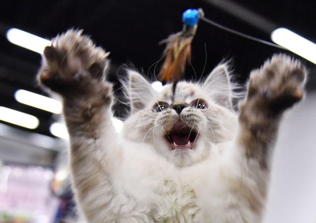 Kot na wystawie Koszariki Show w centrum Sokolniki w Moskwie