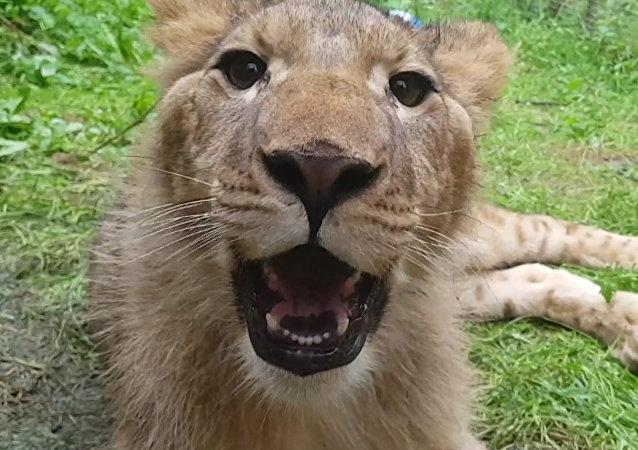 Aktywista uratował lwy od śmierci w prywatnym ZOO na Ukrainie