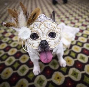 Pies w modnym stroju na 16. corocznym pokazie mody Pet Fashion Show w Nowym Jorku