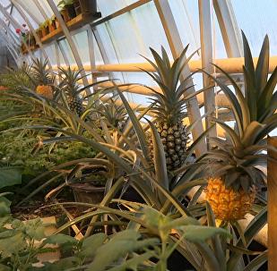 Pierwsze zbiory ananasów na Walaamie