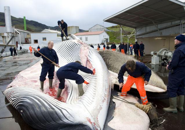 Rybacy rozdzielają tuszę wieloryba złowionego na północ od Reykjaviku, na zachodnim wybrzeżu Islandii