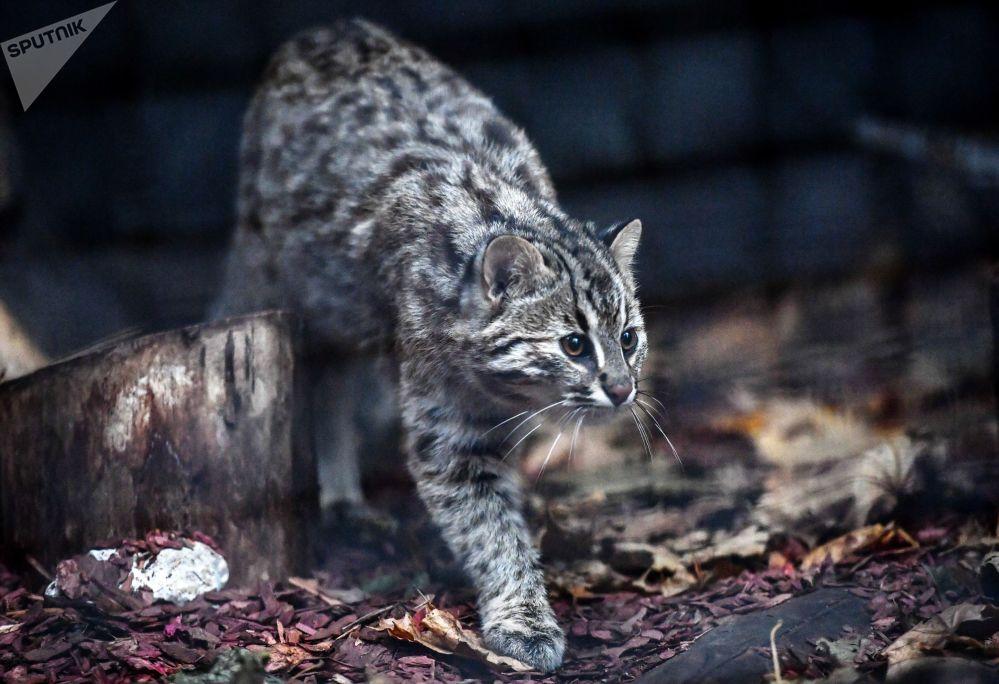 Kot leśny Amur w moskiewskim ZOO